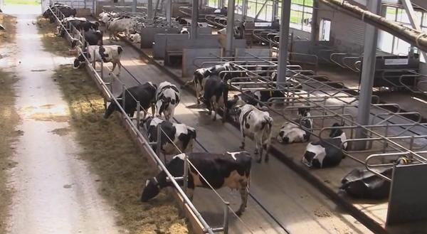 Плиты для коров