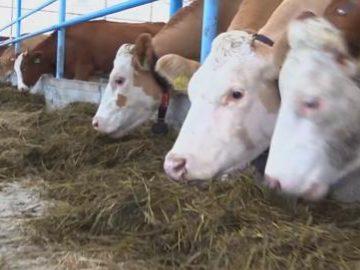 Особенности содержания коров (КРС)
